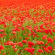 Stock Photo: Poppies
