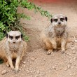 Two meerkat secure area — Foto Stock #29217099