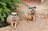 Two meerkat secure area — Stock Photo