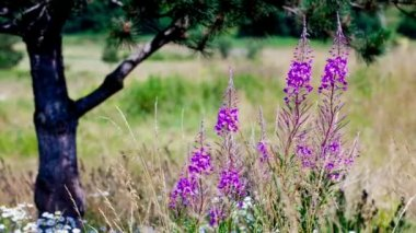Fireweed swaying in the wind — Stock Video