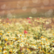 Camomile — Stock Photo #29774349