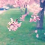 Sakura — Stock Photo #30858483