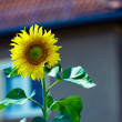 Flower sunflower — Stock Photo