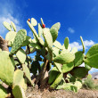 Prickly pear cactus plant in a field — Stock Photo
