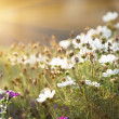 Stock Photo: Field of daisy flowers