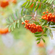Red berries rowan in the autumn garden — Stock Photo