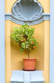 Miniature lemon tree with fruit — Stock Photo