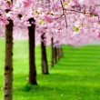 Flowering cherry, sakura trees — Stock Photo