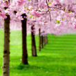 Stock Photo: Flowering cherry, sakurtrees