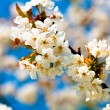 Stock Photo: Apple tree flowers