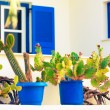 cactus and windows with blue shutters — Stock Photo