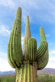 Cactus in the Arizona desert against the sky — Stock Photo