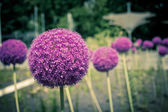 Decorative onion flowers, allium — Stock Photo