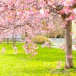 Flowering cherry, sakura trees — Stock Photo #43830431