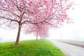 Flowering cherry, sakura trees — Stock Photo