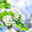Blossoming apple tree branch — Stock Photo #44131975