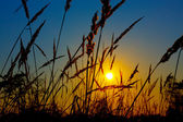 Sunrise on the summer wheat field with meadow grass — 图库照片