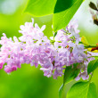 Lilacs flowers — Stock Photo #46692163