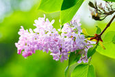Lilacs flowers — Stock Photo