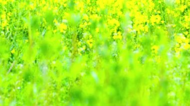 Field of rapeseed plant — Stock Video
