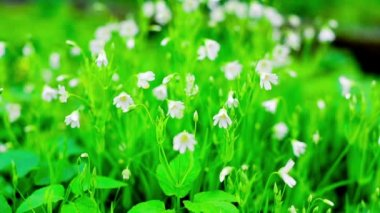 Small Spring White Flowers and Green Grass Flicker in the Wind — Stock Video