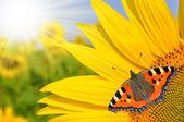 Sunflower field — Foto Stock