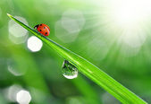 Dew and ladybug — Stock Photo