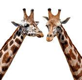 žirafy — Stock fotografie