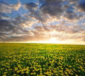 Dandelions field — Stock Photo