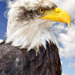 Bald Eagle — Stock Photo #13151532