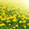 Dandelions — Stock Photo