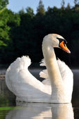 Cygne blanc — Photo