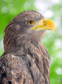 Sea eagle — Stock Photo