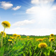 Dandelions — Stock Photo #13845719