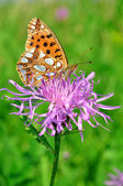 Butterfly Fabriciana aglaia — Stock Photo