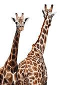 Giraffe — Foto Stock