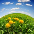 Dandelions — Stock Photo #14094003