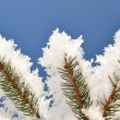 Winter spruce tree - Stock Photo