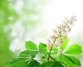 Chestnut flower — Stock Photo