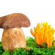 Mushrooms Tylopilus felleus and Ramaria Formosa - Stock Photo