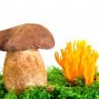 Mushrooms Tylopilus felleus and Ramaria Formosa — Stock Photo