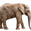 Elephant — Stock Photo #14970405