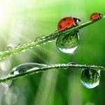 Dew and ladybugs — Stock Photo #16311527