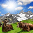 Cow lying in the meadow - Stock Photo