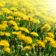 Dandelions — Stock Photo #16317547