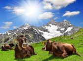 Mucca sdraiata sul prato — Foto Stock