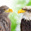 Bald Eagle with Sea Eagle — Stock Photo