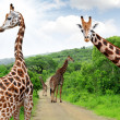 Giraffes - Stock Photo