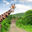 Giraffes — Stock Photo #17368385