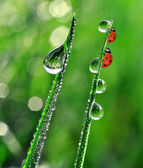 Dew and ladybirds — Stock Photo